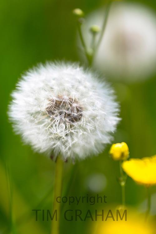 Dandelion clock ripe seed head ready for seed dispersal in summertime, UK