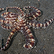 Mimic octopus (Thaumoctopus mimicus) traveling across the dark sand muck in Lembeh Strait, North Sulawesi, Indonesia