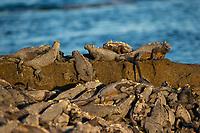 Sea Iguanas on Rocks in Galapagos