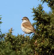 Spectacled Warbler - Sylvia conspicillata - 1st Autumn.