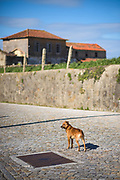 Someone's dog on pawed road, Maia, Portugal