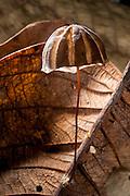 Parasol Mushroom (Marasmius sp.)<br /> Yasuni National Park, Amazon Rainforest<br /> ECUADOR. South America<br /> HABITAT & RANGE: