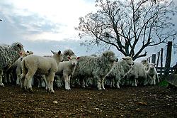 Ovelhas nos campos de Bagé. FOTO: Eduardo Rocha / Preview.com