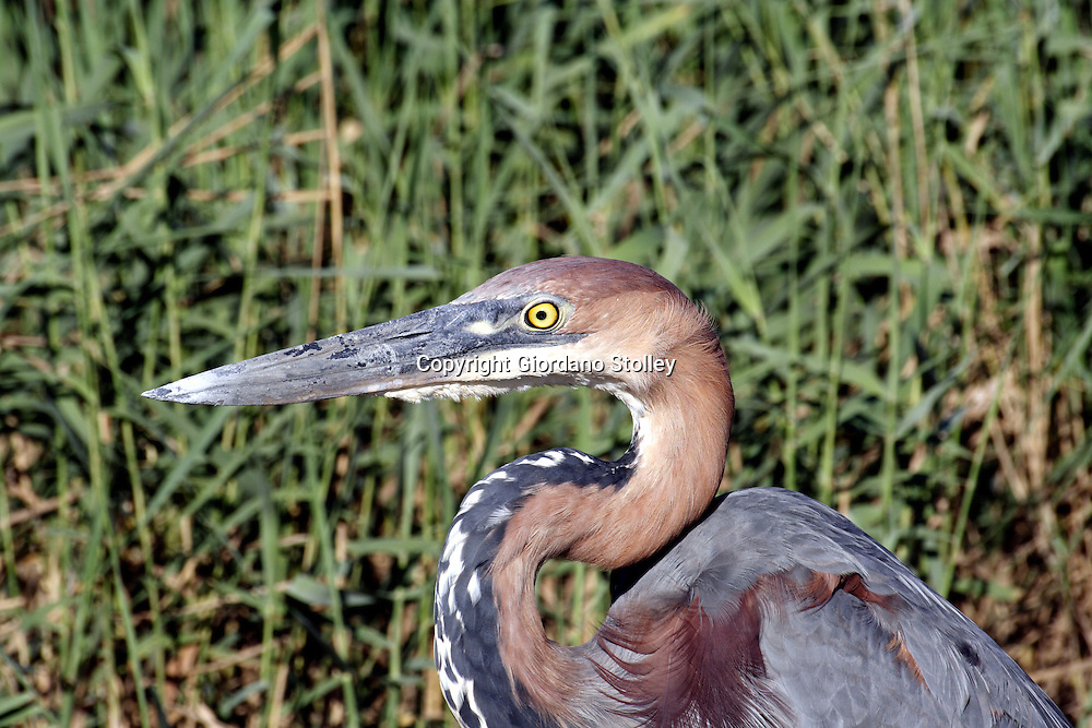 ST LUCIA ESTUARY - 5 January 2006 - A giant heron in thye reeds at the side of the St Lucia Estuary in northern KwaZulu-Natal..Picture: Giordano Stolley