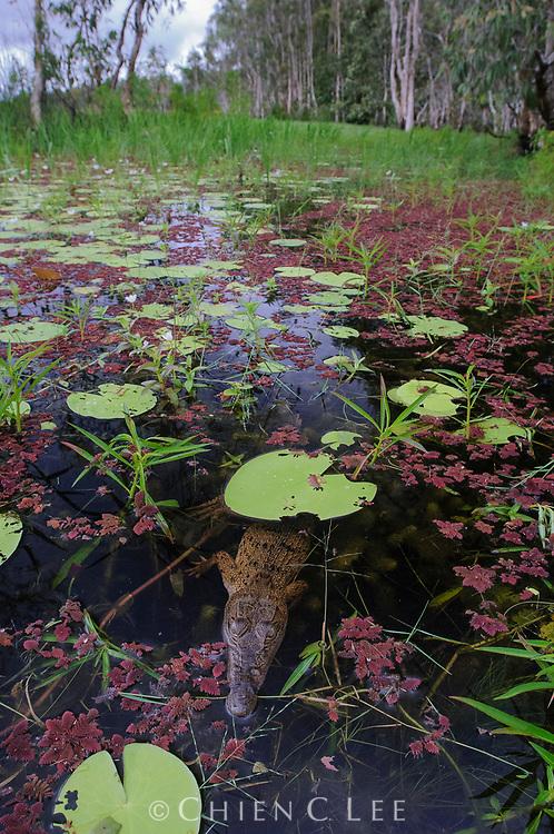 New Guinea Crocodile (Crocodylus novaeguineae), juvenile. Wasur National Park, Papua, Indonesia (New Guinea).