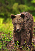 An Eurasian Brown Bear Cub is walking in a forest in Finland.