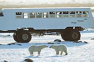 01874-09514 Polar Bears  (Ursus maritimus) sparring near Tundra Buggy, Churchill MB