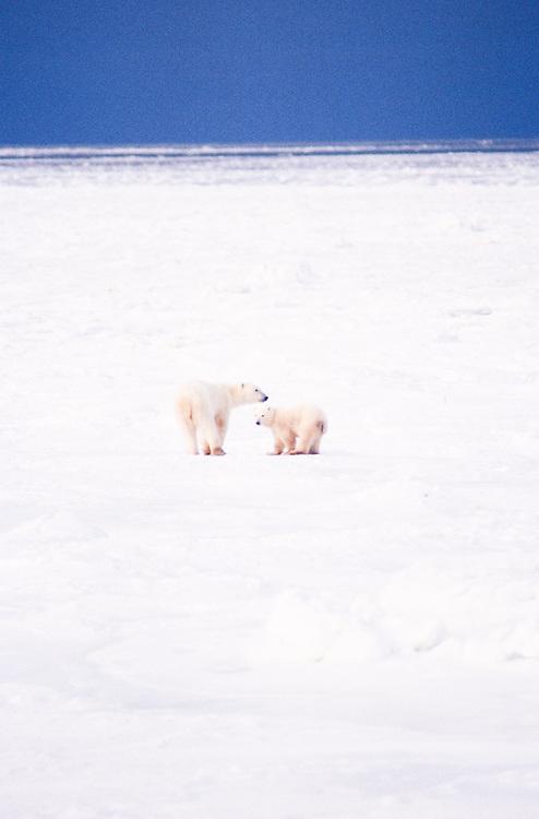 Canada, Manitoba, Cape Churchill. Polar Bears (Ursus maritimus) in snow in winter.