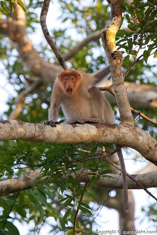 Screaming Proboscis Monkey (Nasalis larvatus) by Kinabatangan River, Sabah