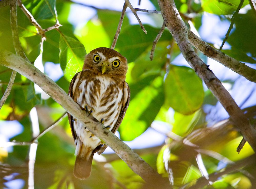 Aquidauana_MS, Brasil...Coruja no galho de uma arvore na fazenda Rio Negro no Pantanal...The olw in the branch tree in the Rio Negro farm in Pantanal...Foto: JOAO MARCOS ROSA / NITRO