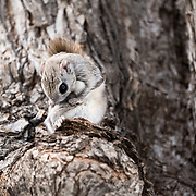 This is a male Japanese dwarf flying squirrel (Pteromys volans orii). This sub-species of Siberian flying squirrel, found only in Hokkaido, Japan and known locally as ezo-momonga, is primarily nocturnal. This imdividual was active during the day because it was competing for the attention of a female in oestrous. The squirrel paused for a moment to groom himself.