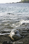 Hawaiian monk seal, Monachus schauinslandi, endemic species, critically endangered, with satellite transmitter and VHF radio transmitter glued to back by researchers, Honaunau, Hawaii, USA ( Central Pacific Ocean )
