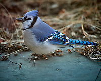 Blue Jay. Image taken with a Nikon D5 camera and 600 mm f/4 lens (ISO 1600, 600 mm, f/4, 1/320 sec)