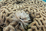 Feather Duster Worm (Sabellastarte sanctijosephi)<br /> Raja Ampat<br /> West Papua<br /> Indonesia