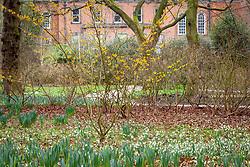 Snowdrops and witch hazel in the Winter Garden at Dunham Massey. Hamamelis × intermedia