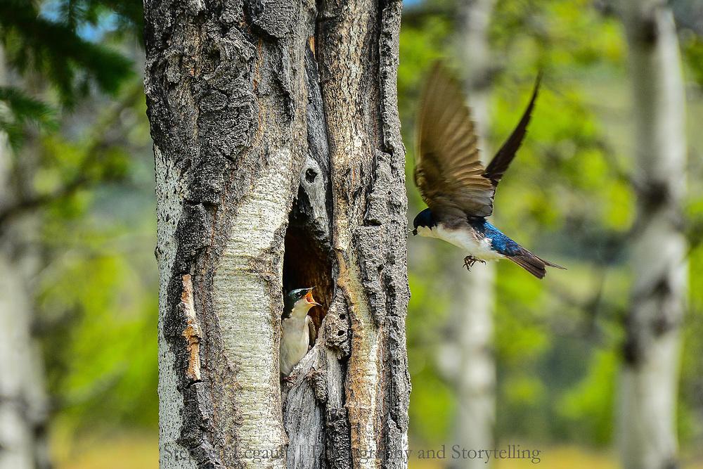Tree Swallow, Cat Creek Hills, Kananaskis, Alberta