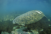 Florida manatee, Trichechus manatus latirostris, with white scars from boat propeller, King's Bay, Crystal River, Florida, USA, North America