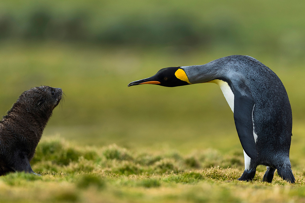 A king penguin looks at a fur seal on Wednesday, Jan. 31, 2018 in Grytviken, South Georgia. (Photo by Ric Tapia)