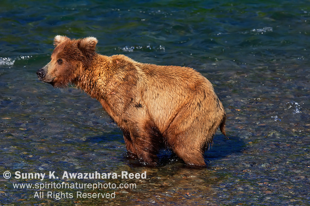 Young Bear pooping in the river