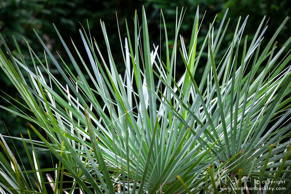 Chamaerops humilis var cerifera  syn. Chamaerops humilis var argentea - Fan Palm