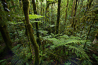 Cloud forest interior view with tree ferns.  Approx. 1700 m elev, Foja Mts.