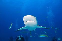 Caribbean Reef Shark, Carcharhinus perezi, and scuba divers, West End, Grand Bahamas, Atlantic Ocean