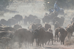 Bison herd kicking up dust during bison roundup, Ladder Ranch, west of Truth or Consequences, New Mexico, USA.