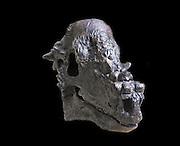 Cast of the skull of the Late Cretaceous herbivorous dinosaur.  Pachycephalosaurus wyomingensis from the late Cretaceous Lance Formation of the United States Western Interior.