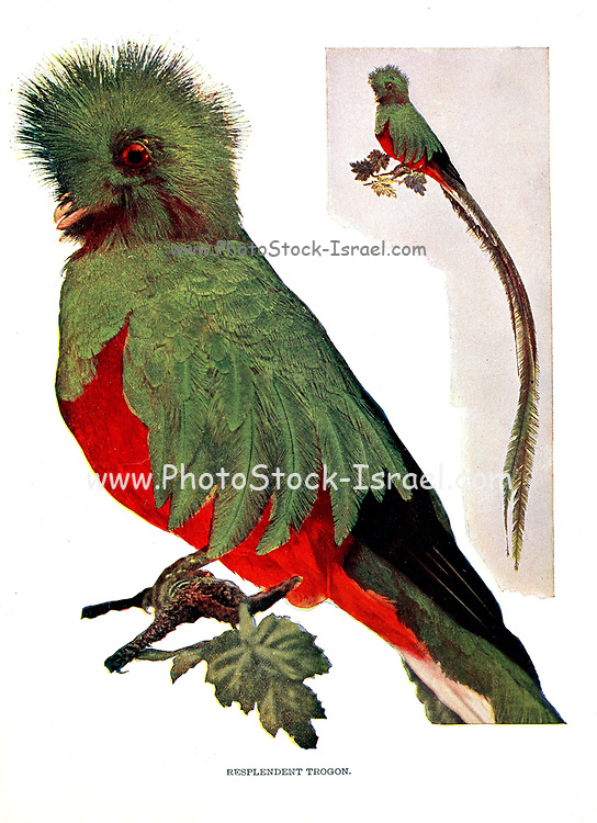 The resplendent quetzal (Pharomachrus mocinno [Here as Resplendent Trogon]) is a bird in the trogon family. It is found from Chiapas, Mexico to western Panama. It is well known for its colorful plumage. From Birds : illustrated by color photography : a monthly serial. Knowledge of Bird-life Vol 1 No 1 January 1897