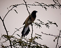 Rufous Treepie. Bharatpur-- Keoladeo Ghana National Park, Rajasthan, India. Image taken with a Nikon 1 V3 camera and 70-300 mm VR lens.