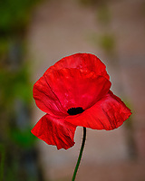 Red Poppy Flower. Image taken with a Fuji X-H1 camera and 200 mm f/2 OIS lens + 1.4x teleconverter (ISO 200, 280 mm, f/5.6, 1/1400 sec).