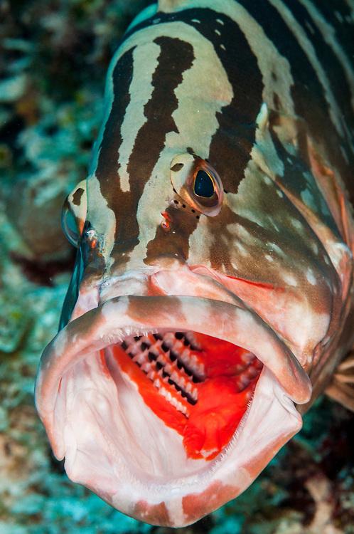 Nassau grouper (Epinephelus striatus) yawning off Jardines de la Reina, Gardens of the Queen National Park, Cuba.