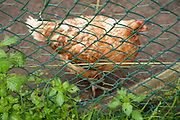 a free range chicken behind  a fence