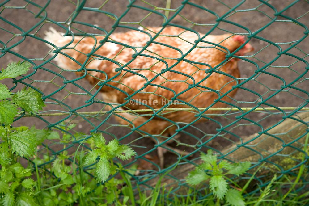 a free range chicken behind  a fence