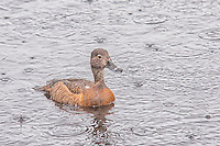 A female ring-necked duck swims on Oregon's Lake Trillium during a rainstorm on a chilly sub-alpine summer day.