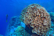 Huge hard coral formation in the Southern Egyptian Red Sea dwarfs a diver.