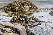 Pair of Dunlin birds (Dunlins) a small sandpiper, Calidris alpina, among seaweed and rocks on coastal seashore in Coigach region of the Scottish Highlands
