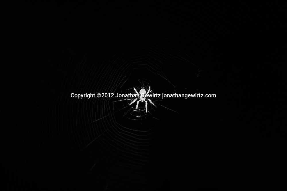 An illuminated spider in an orb-shaped web at night with a black background. WATERMARKS WILL NOT APPEAR ON PRINTS OR LICENSED IMAGES.