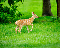 Spots, the young fawn playing in the yard. Image taken with a Fuji X-H1 camera and 200 mm f/2 lens + 1.4x teleconverter.