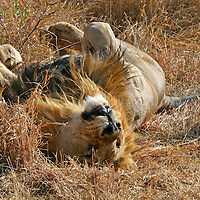 Africa, South Africa, Madikwe Game Reserve. A lazy male lion relxes on his back in the African sun.
