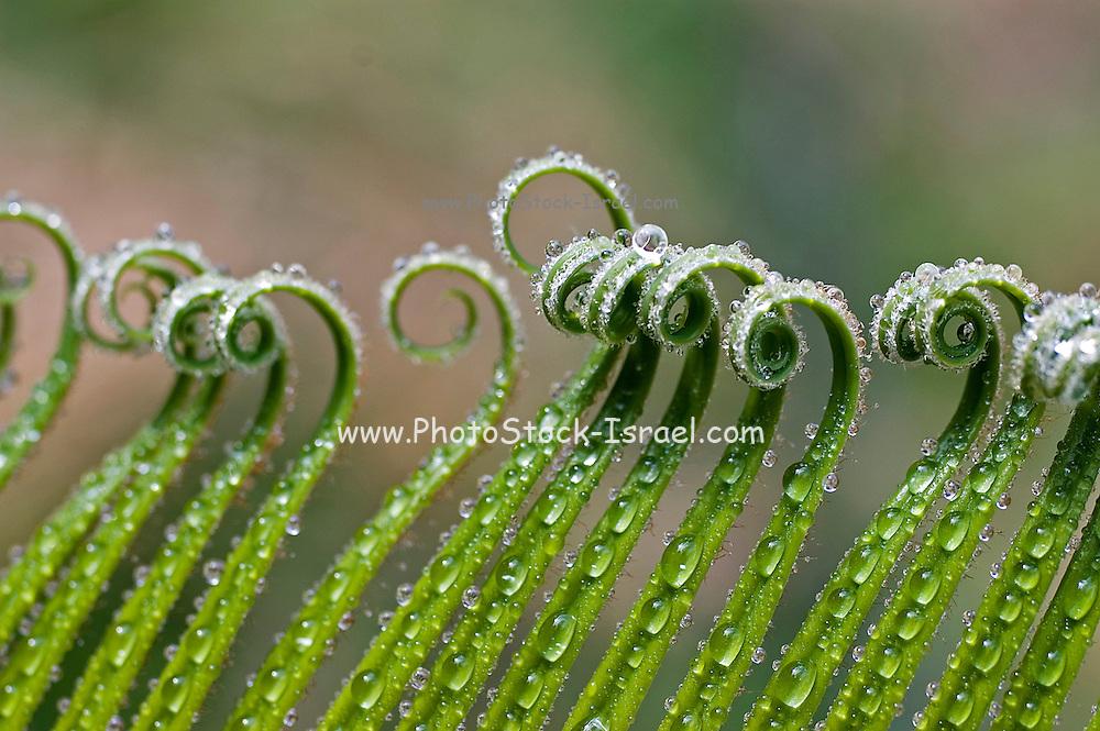 Curled fern leaf