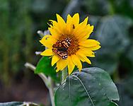 Kansas sunflower field.