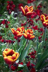 Tulipa 'Abu Hassan' with Erysimum cheiri 'Sunset Dark Red' -Sunset Series. Wallflower