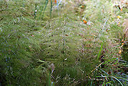 Horsetail Plants in Warwickshire, United Kingdom.