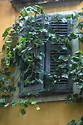 Traditional window shutters and grapevine on rainy day in Kerkyra, Corfu Town, Greece