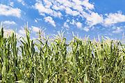 green corn crop in a field near Allora, Queensland, Australia <br /> <br /> Editions:- Open Edition Print / Stock Image