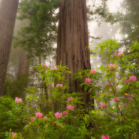 Rhododendron blooms in redwood forest, Redwoods National Park, California.