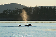the spout or blow ( exhalation ) of a transient orca or killer whale, Orcinus orca, is backlit by the afternoon sun in the Haro Strait, between the San Juan Islands of Washington State, United States, and the Gulf Islands on the east side of Vancouver Island, British Columbia, Canada