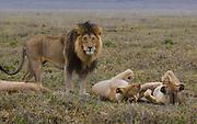 Male lions, kickass defenders of a pride, Serengeti National Park, Tanzania.