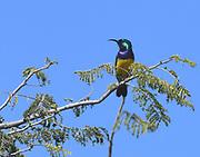 A male variable sunbird (Cinnyris venustus) perches in a thorny acacia tree.  Sanya Juu, Boma Ngombe, Tanzania..